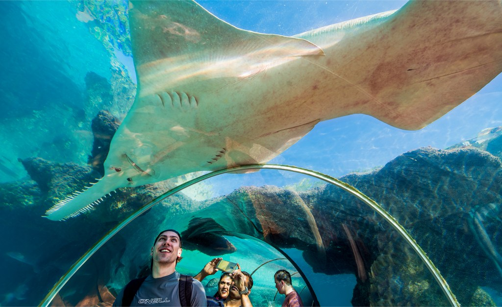 A huge sawtooth shark swimming overhead in the Atlantis aquarium. Bahamas vacation photos by Lizzy Davis.