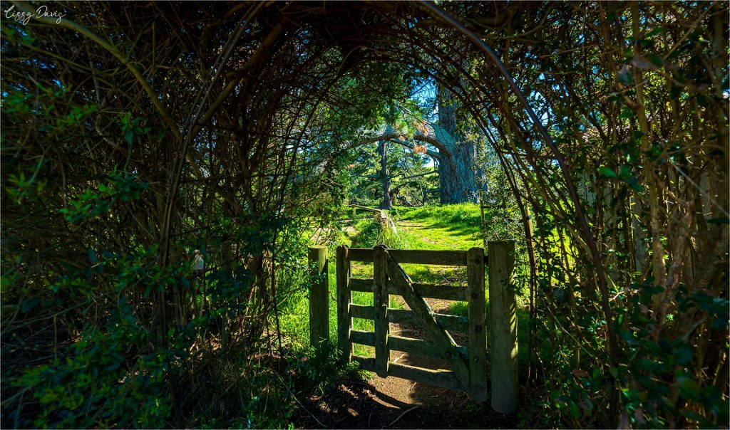Vine and bramble covered wooden gate.