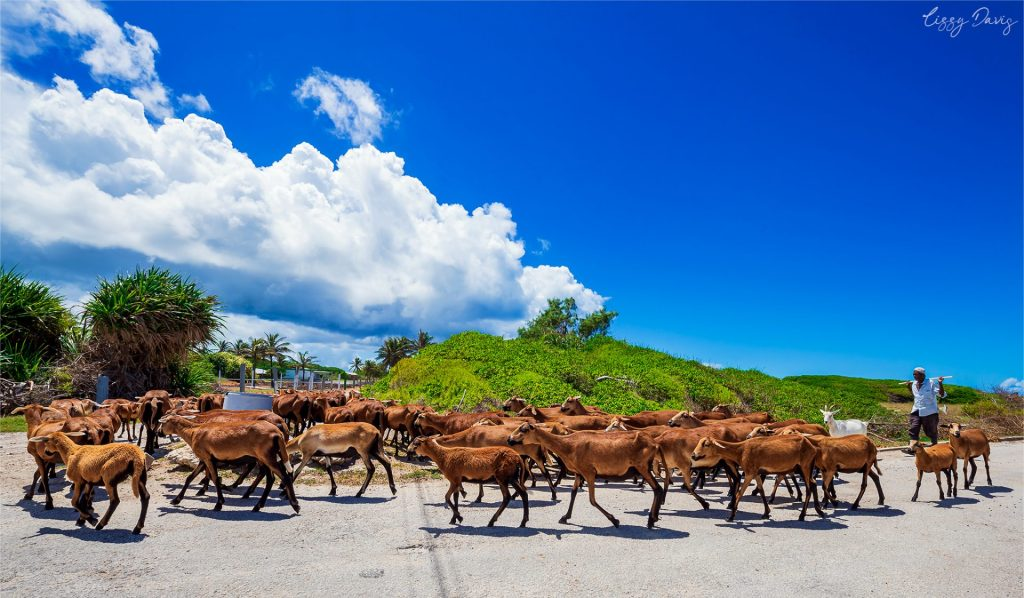 Barbados Blackbelly Sheep being herded across the road at Animal Flower Cave.