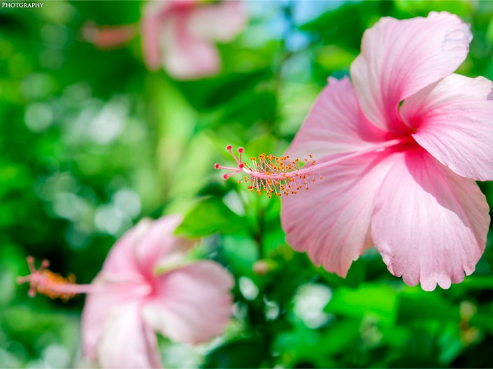 Macro of Pink Hibiscus flowers in Ocho Rios, Jamaica. Photo by Lizzy Davis.
