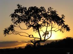 Silhouette - tree