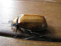 Christmas Beetle 2