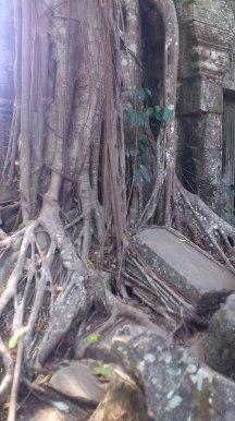 Ta Promh 'Spung' Tree reclaims stones