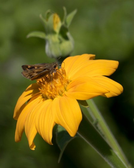 day 120 moth feeding on flower p1000518