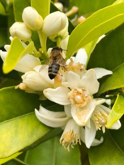 Bee on Bitter Orange Blossom