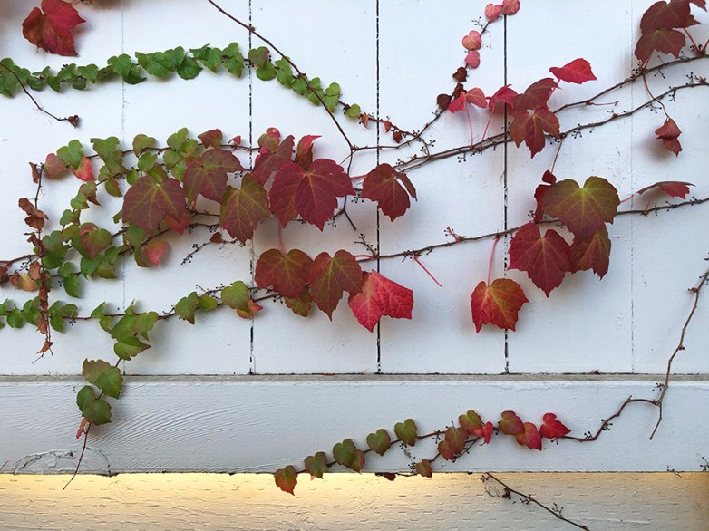 Red Leaves on Vinws
