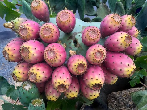 day-136-prickley-pears
