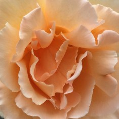 day-53-fragrant-rose_5721