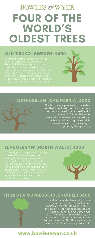 world-oldest-trees-infographic-lkrllc