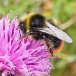 Red tailed bumblebee (male)