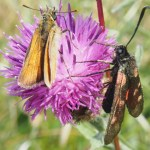 Skipper butterfly and six spot burnet moth