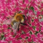 Common carder bumblebee on sedum