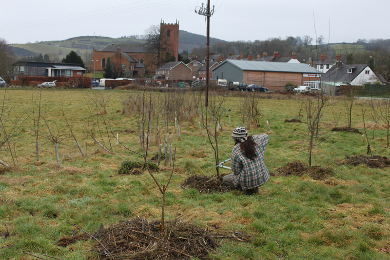 Community orchard at Cae Bodfach