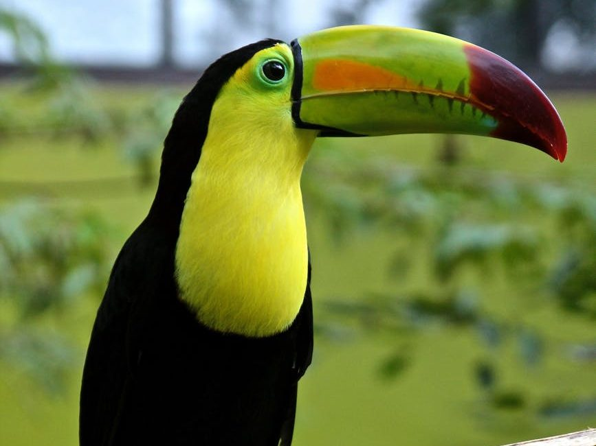 toucan bird parrot