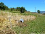 Coyendo la escanda en Llanos de Somerón (6)