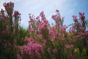 brezo primavera erica australis miel llaria amarga