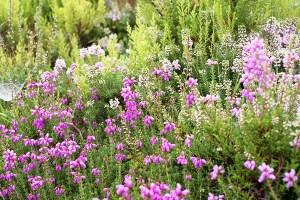 calluna erica flores miel llaria bio