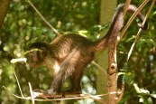 Beautiful capucin monkey!