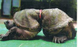 Deformed turtle due to plastic around it's midshell. Photo credit: unknown
