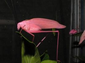 Rare pink Katydid 04