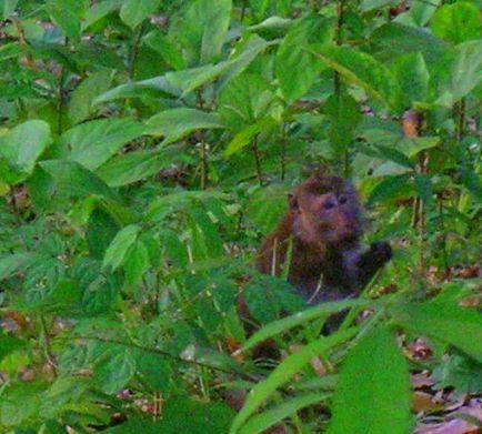 Spider monkey at Ting Rai Bay