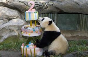 Panda and cake