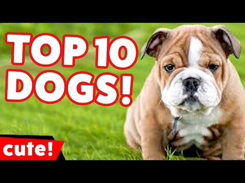 Top 10 Funniest Dog Videos Weekly Compilation 2016 | Kyoot Animals