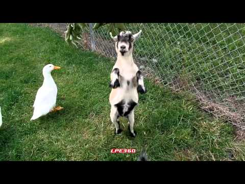 Goat Standing on Two Legs   360Funny   — Goats, Cute, Funny, Farm Animals