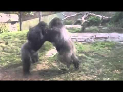 Omaha zoo – Gorilla Fight – [Funny Animals 07]