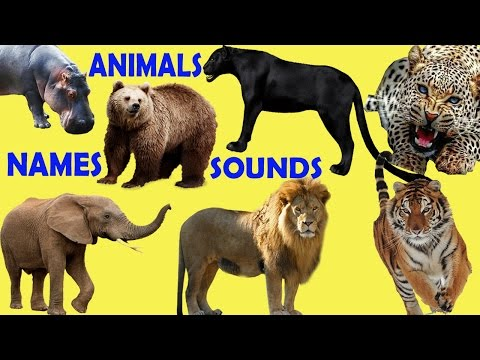 Learning Wild Animals Sounds and Names for childrens in English | funny africa animals