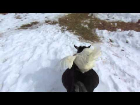 Funny Farm Animals: Chicken Hitches a Ride from a Goat!
