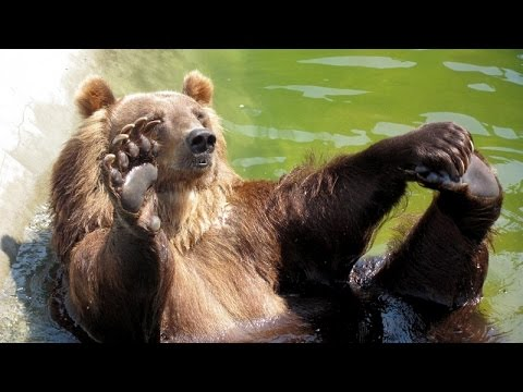 Funny bear videos compilation