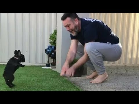Funny And Cute French Bulldog | French bulldog Puppies | Funny dog videos try not to laugh #3