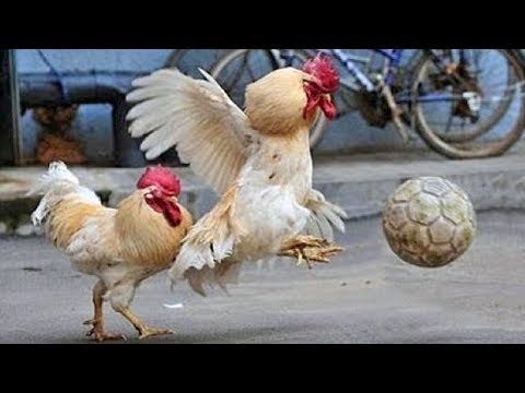 Funny Chickens & Roosters – Rooster vs Dog & Cat Videos – Cute Chicken Video