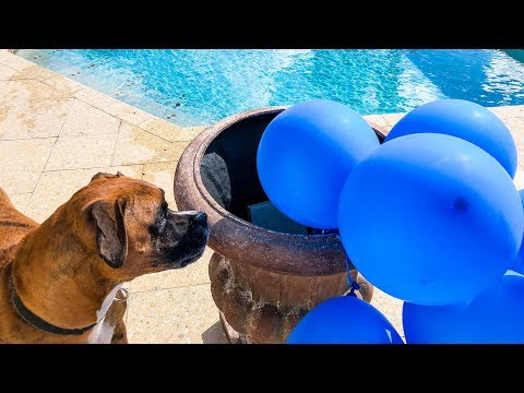 Funny Dog Videos – Funny Dogs Playing with Water Balloons Compilation (2019)