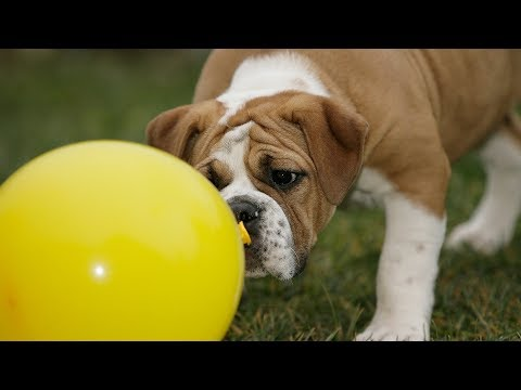 Funny Dog Videos – Funny Dogs vs Balloons Compilation (2019)