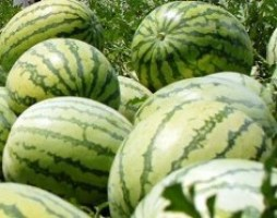 buah semangka kuning,lmga agro