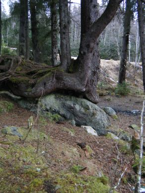 Nature shot of a tree growing around a boulder.