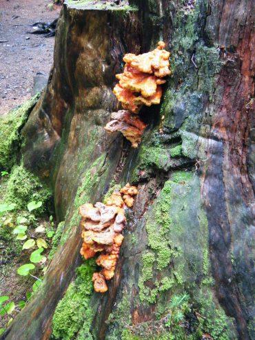 Orange conks (Southeast Alaska)