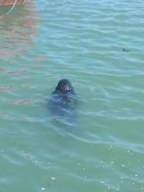 Seal in Howth harbor, Ireland