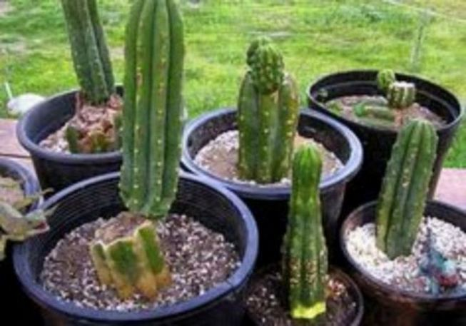 13 Astonishing San Pedro Cactus Inspirations To Completing Your Garden 15
