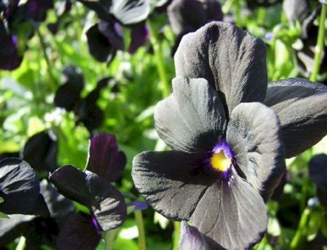 19 Superb Black Plants And Flowers That Add Drama For An Awesome Black Garden 33