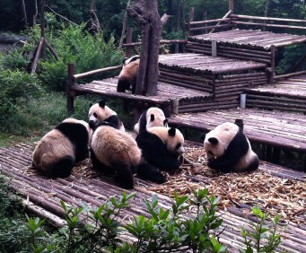 The best part of this panda party is the fellow in the back, going in for a nice bum scratch.