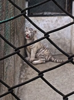 Chain-link: every tiger cub's favorite scratching post.