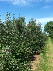 One of many orchard rows.