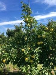 Jonagold Apple tree reaching toward a beautifully blue sky.