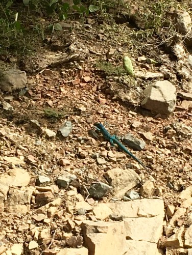 These shockingly blue chaps were to be found everywhere on the island.