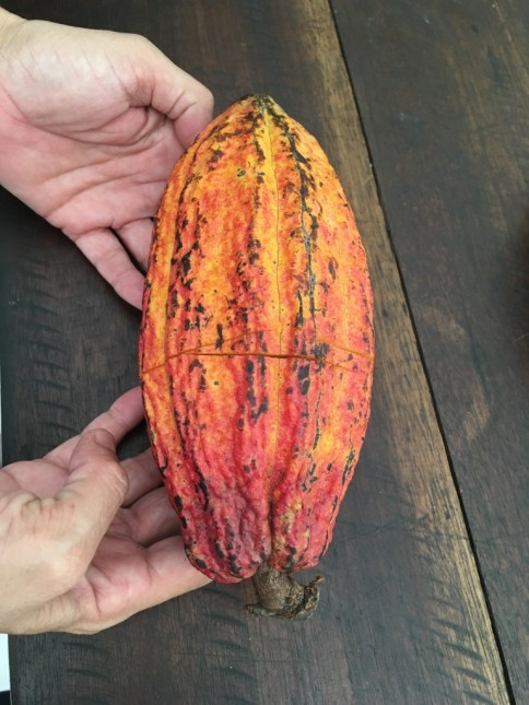 This gorgeous, peculiar thing is the pod that holds all that cacao goodness.