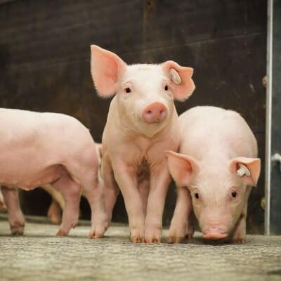 リバネス生産技術研究所は、琉球大学および金城ミートと共に泡盛蒸留粕乳酸発酵飼料の研究を実施しました(平成28年度 産学官金共同研究スタートアップ支援事業)