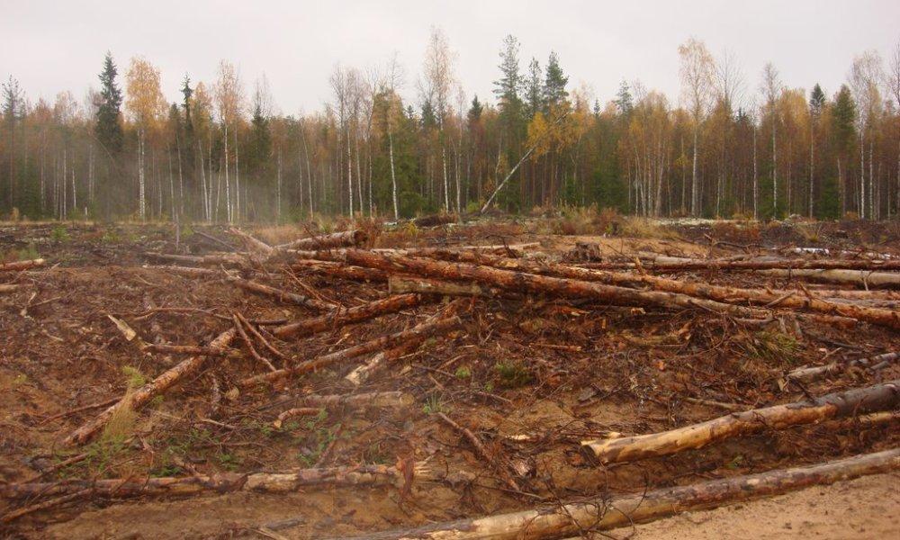 Анархия. Черных лесорубов в Ленинградской области никто не контролирует